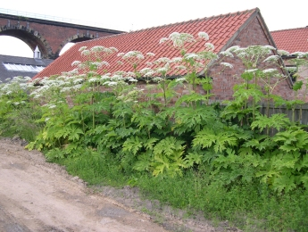 giant-hogweed