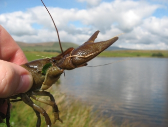 white-clawed-crayfish3